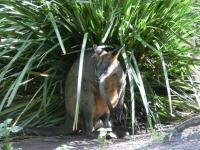 davidfleay-wallaby
