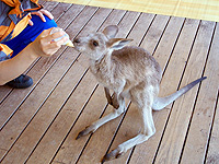 feeding-wallaby