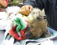 koala-ga