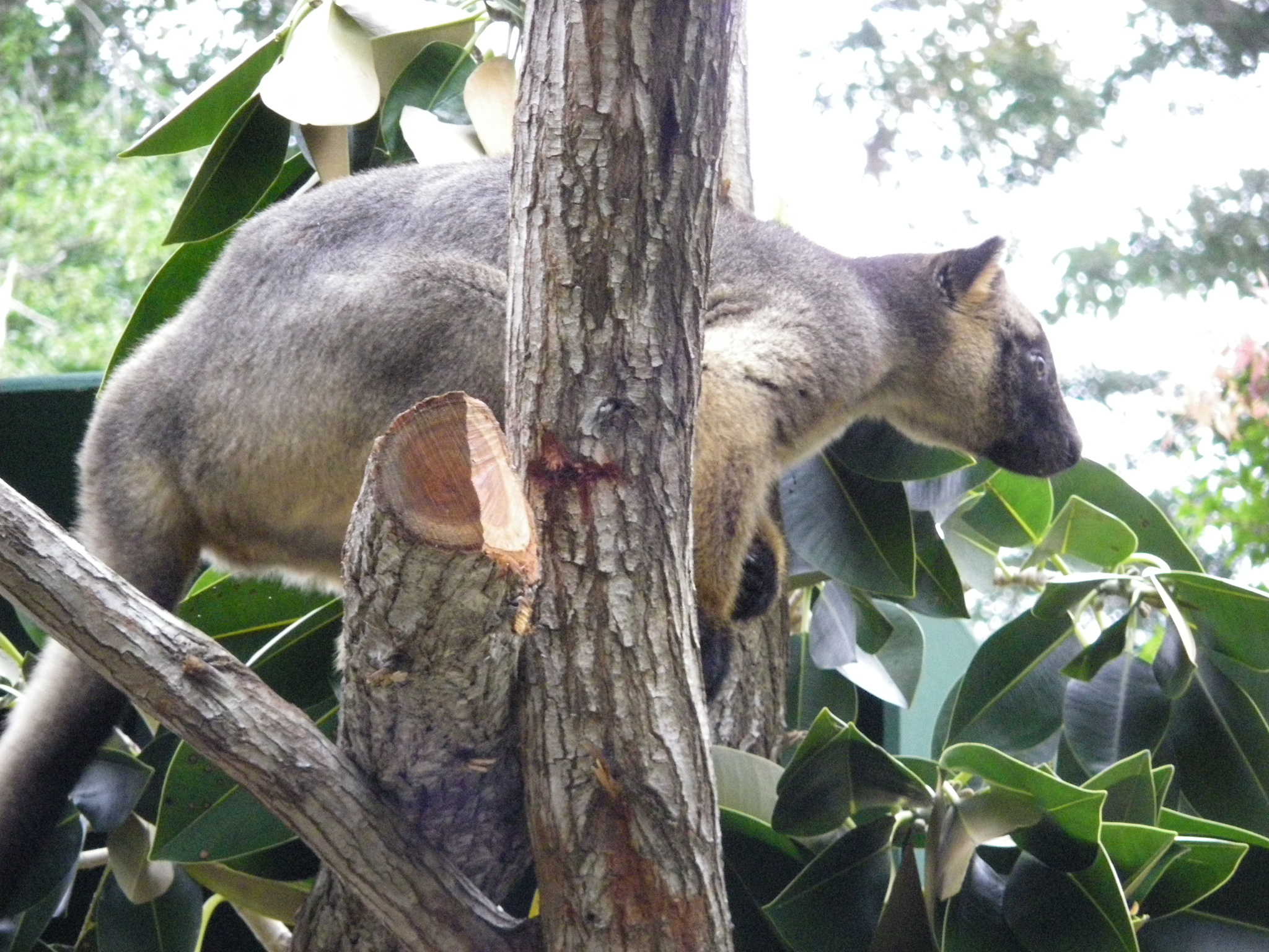 treekangaroo