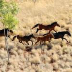 Brumby-Plains-Horses-1