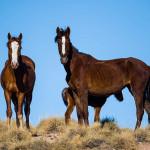 AJWCEF オーストラリア野生馬ブランビー