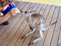 feeding-wallaby